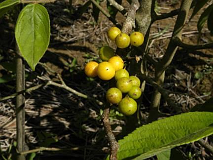Guaçatunga