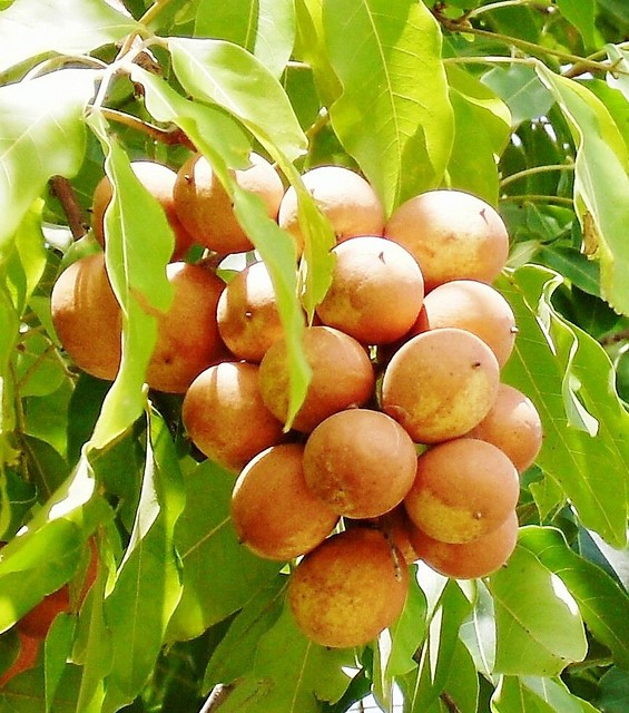 Pitomba-da-Bahia