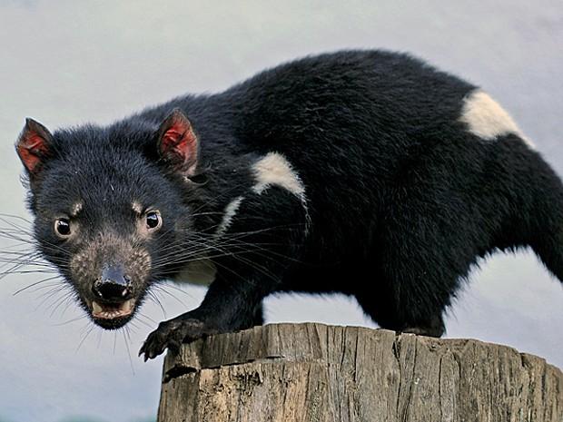 Demônio-da-tasmânia