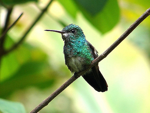 Esmeralda-de-cauda-azul