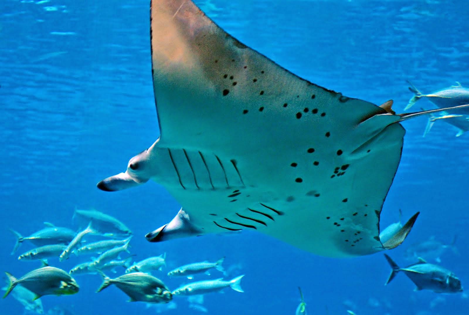 Morcego-do-mar