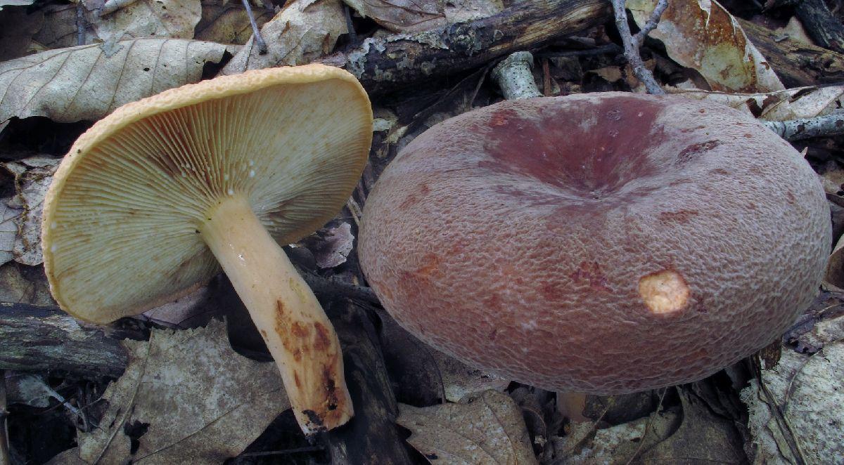 Lactarius corrugis