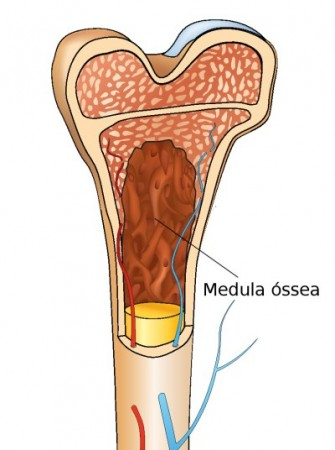 Medula óssea